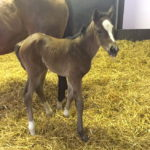 High Chaparral x Princess Danah filly