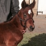 The Iffraaj - Lady Nouf colt
