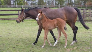 Nouriya and her filly foal by Australia pictured at the stud earlier this year