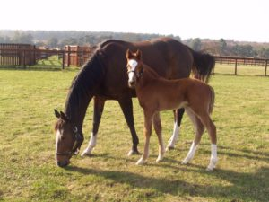 Decorated Knight with his dam Pearling as a foal